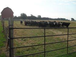 Steers on Pasture