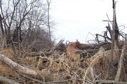 Abby Hunting Birds in the brush pile