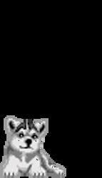Little Husky Puppy