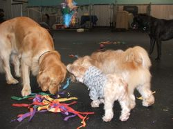 Parker, Alfie and Wicket finding treats from the broken pinata.