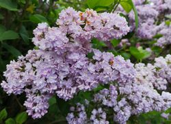 Lilac at top of Orchard