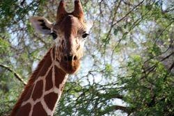 Reticulated Giraffe -Samburu Game Reserve