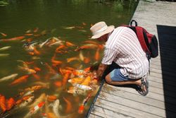 Feeding the fish in the Botanical Gardens