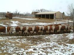Bull calves lined up