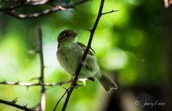 Junger Spatz / Young Sparrow