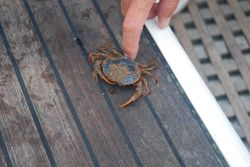 The swimming crab I caught while anchored in Finisterre