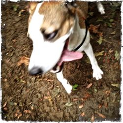 Alma (Fox Terrier Mix)