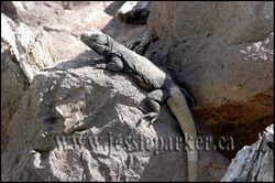 Iguana,Arizona