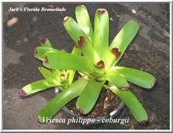 Vriesea philippo - coburgii $12.00