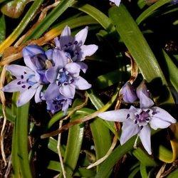Spring squill Scilla verna