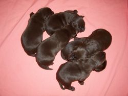 All 6 Pups - 1 Week Old
