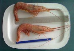 WHOLE SHRIMPS / SEA FROZEN, RAW, SHELL ON, CATCHED IN FAO ZONE 41, PREMIUM QUALITY! TO LOAD FROM ARGENTINA