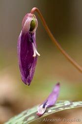 Dog Tooth Violet (Erythronium dens-canis), Kandik psi zub