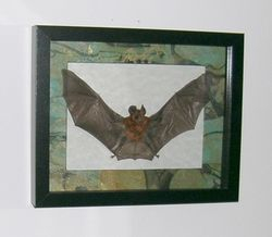 Brown bat in black shadowbox frame