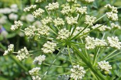 Cow Parsley in bud - (Anthriscus sylvestris)