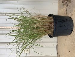 Variegated MIscanthus