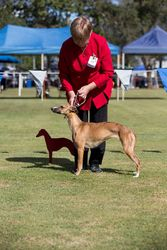 The Qld Whippet Club Championships