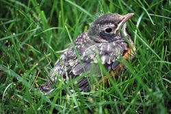 Baby robin visits for spring.