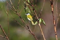 Caneleiro verde ( Pachyramphus viridis )