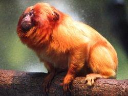 Little Orange Monkey