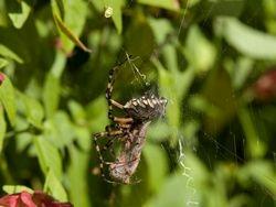 Black & Yellow Garden Spider