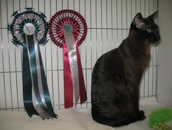 Winning his first Master Cat Certificate at the Notts and Derby Show Jan 2012