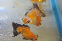 Butterfly Goldfish- $16