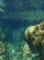 Two huge shoals of fish in Grande Anse d'Artlet