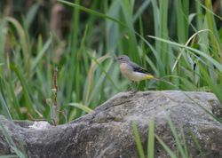 Grey Wagtail (Bergeronnette des ruisseaux)