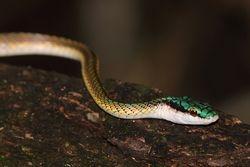 Cobra  Azulao boia  ou Boibu ( Lepthophis ahaetulla )