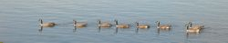 Canadian Geese on White Bear Lake, Minnesota