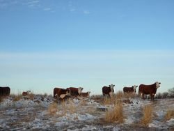 yearling heifers waiting for water