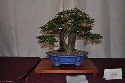 Triphasia trifolia (Limoncillo)