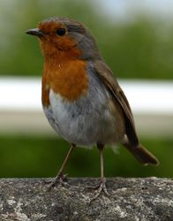 Robin red breast!