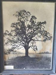 Witenagemot Oak Peace Tree