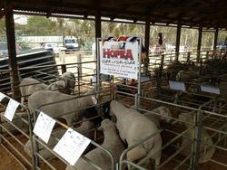 Rams in their pens at Balmoral
