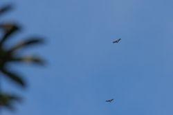 Barred Hawks