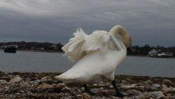 A Swan at Hoppy's Landing