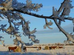 cows bale grazing Dec. 2012