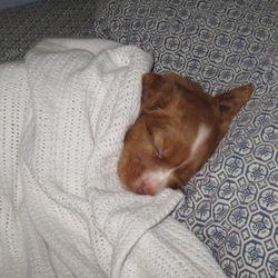 Sirius napping