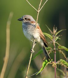 Red backed shrike female