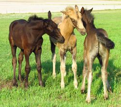 2015 Ching Foals at Coyote Flat Ranch