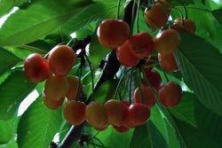 Cherries close up 2
