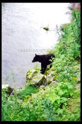 Black Bear watching the salmon run