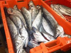 Hake 500-1000 grms South Africa