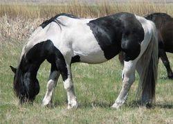 MJ General Pete, NASDHA 3/4 PerchxPaint Stallion