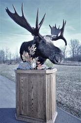 Short neck moose