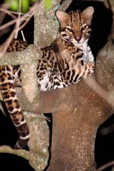 Jaguatirica ( Leopardus pardalis )
