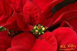 Nochebuena (Poinsettia) #12