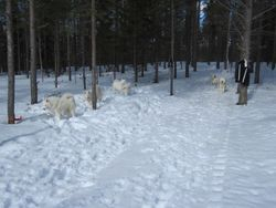 Många vita hundar!
